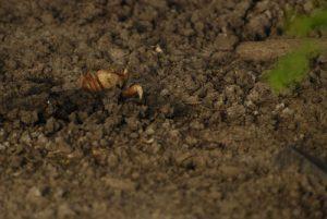 Crabe de terre (Cardisoma guanhumi) -  Etang Rolan à Vieux-Habitants -  Guadeloupe