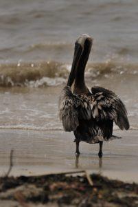 Pélican brun (Pelecanus occidentalis) -  Plage de Sainte-Anne -  Guadeloupe