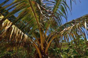 Cocotier (Cocos nucifera) -  La Plage du Bois-Jolan à Trou à Cao-  Grande-Terre / Guadeloupe