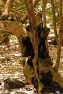 Le Raisinier bord de mer (Coccoloba uvifera) -  Bois du Bois-Jolan -  Grande- Terre / Guadeloupe