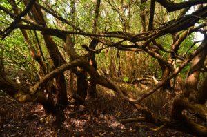 Mangrove de Bois-Jolan à Trou Coa -  Guadeloupe