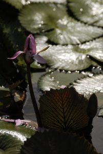 Le nénuphar Grand-Follet (Nymphaea ampla) -  Le Parc des Mamelles -  Basse-Terre / Guadeloupe