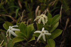 Fleur de Jasmin bois (Hillia parasitica)<br> Forêt hygrophile de La Soufrière<br> Parc Naturel National de La Guadeloupe