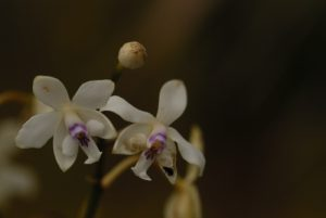Orchidée patens (Epidendrum patens)<br> La Soufrière<br> Basse-Terre / Guadeloupe