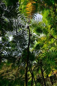 Fougère arborescente (Cyathea arborea) -  Cascade de Matouba -  Guadeloupe