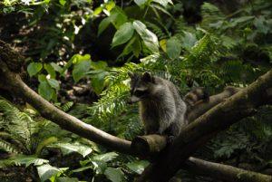 Le Racoon ou Raton Laveur (Procyon lotor minor) -  Le Parc des Mamelles -  Basse-Terre / Guadeloupe