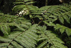Fougère arborescente (Cyathea arborea) -  Parc des Mamelles -  Basse-Terre / Guadeloupe