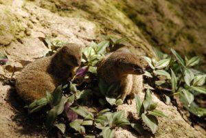 Mangoustes (Herpetes auropunctatus) -  Le Parc des Mamelles -  Basse-Terre / Guadeloupe