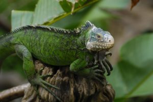 Iguane des Petites Antilles (Iguana delicatissima) -  Le Parc des Mamelles -  Basse-Terre / Guadeloupe
