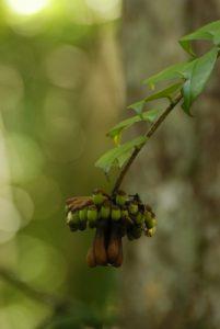 Inflorescence du José ou Bois-couille (Marcgravia umbellata) -  Le Parc des Mamelles -  Basse-Terre / Guadeloupe