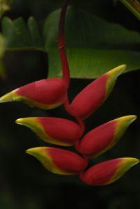Balisier (Heliconia rostrata) -  Le Parc des Mamelles -  Basse-Terre / Guadeloupe