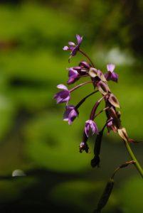 Orchidée Spathoglottis (Spathoglottis plicata) originaire de Malaisie naturalisée aux Antilles françaises<br> Le Parc des Mamelles<br> Basse-Terre / Guadeloupe