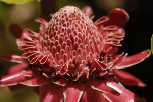 Rose de porcelaine (Etlingera elatior) originaire de Malaisie -  Le Parc des Mamelles -  Basse-Terre / Guadeloupe