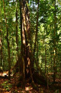 Forêt tropicale près du Saut des 3 Cornes à Sofaïa -  Parc national de la Guadeloupe -  Basse-Terre / Guadeloupe