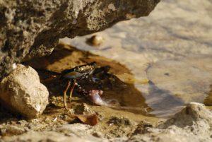 Crabe Grapse peint ou Zagaya (Grapsus grapsus) mangeant une crevette<br> La Porte d'Enfer<br> Grande-Terre/ Guadeloupe