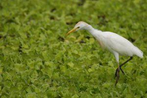 Le Héron garde-bœufs (Bubulcus ibis)<br> La Plage de Saint-Felix<br> Parc Naturel National de la Guadeloupe (Grande-Terre)