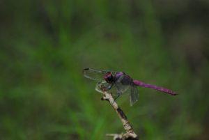 Orthémis antillais mâle (Orthemis macrostigma) -  La Plage de Saint-Felix -  Grande-Terre / Guadeloupe
