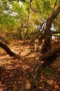 Mangrove de la Plage de Saint-Felix -  Grande-Terre / Guadeloupe