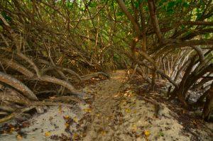 Mangrove de la Plage de la Pointe de la Saline -  Grande-Terre / Guadeloupe
