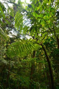 Forêt tropicale sur le chemin de La première Chute du Carbet -  Parc national de la Guadeloupe -  Basse-Terre / Guadeloupe