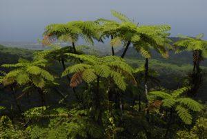 Fougère arborescente (Cyathea arborea) -  La première Chute du Carbet - Parc national de la Guadeloupe Basse-Terre / Guadeloupe