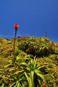 Ananas rouge-montagne (pitcairnia bifrons) au sommet de La Soufrière -  Parc national de la Guadeloupe -  Basse-Terre / Guadeloupe