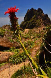 Ananas rouge-montagne (pitcairnia bifrons) au sommet de La Soufrière devant le Piton Dolomieu -  Parc national de la Guadeloupe -  Basse-Terre / Guadeloupe
