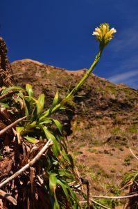 Ananas rouge-montagne à fleurs jaunes (pitcairnia bifrons) au sommet de La Soufrière devant le Piton Dolomieu -  Parc national de la Guadeloupe -  Basse-Terre / Guadeloupe