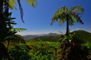 Fougère arborescente (Cyathea arborea) -  La Soufrière / Parc national de la Guadeloupe -  Basse-Terre / Guadeloupe