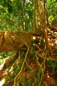 Forêt tropicale à la Cascade du Saut de la Lézarde -  Basse-Terre / Guadeloupe