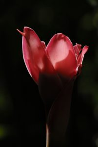 Rose de porcelaine (Etlingera elatior) originaire de Malaisie -  La Cascade du Saut de la Lézarde -  Basse-Terre / Guadeloupe