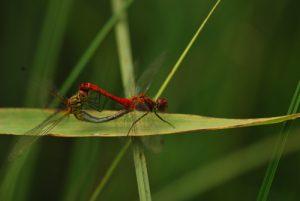 Accouplement de libellule Sympétrum sanguin (Sympetrum sanguineum)<br> Lac de Narlay<br> Parc régional du haut Jura