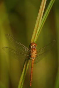 Libellule  Sympétrum sanguin femelle (Sympetrum sanguineum)<br> Lac de Narlay<br> Parc régional du haut Jura