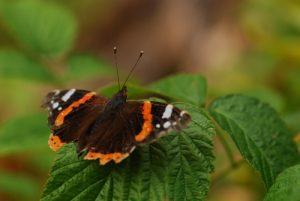 Papillon Le Vulcain (Vanessa atalanta)<br> Parc régional du haut Jura