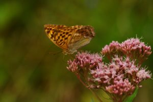 Parc régional du haut Jura : Papillon au Lac de Petit Maclu