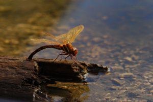Parc régional du haut Jura : Libellule Aeschne grande femelle (Aeshna grandis) en ponte au Lac de Petit Maclu