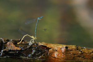 Accouplement de Pennipates bleuâtre(Platycnemis pennipes)<br> Lac de Grand Maclu<br> Parc régional du haut Jura