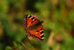 Papillon petite tortue (Aglais urticae)<br> Les Rousses<br> Parc régional du haut Jura