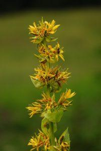 Gentiane jaune (Gentiana lutea)<br> La Forêt du Massacre<br> Parc régional du haut Jura
