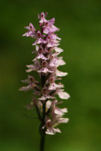 Orchidée Orchis tachetée (Dactilorhysa maculata)<br> La Forêt du Massacre<br> Parc régional du haut Jura