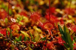 La Drosera à feuilles rondes (Drosera rotundifolia)<br> Le Lac des Rousses<br> Parc régional du haut Jura