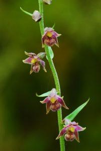 Orchidée Epipactis rouge (Epipactis atrorubens)<br> Les gorges de Flumen<br> Parc régional du haut Jura