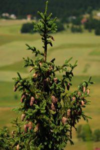 L'épicéa commun (L'épicéa commun (Picea abies)<br> Les Lacs de Bellefontaine et des Mortes<br> Parc régional du haut Jura