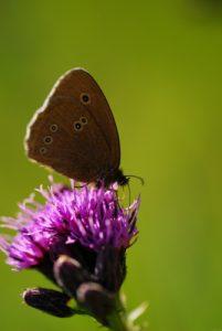 Papillon<br> Les Lacs de Bellefontaine et des Mortes<br> Parc régional du haut Jura