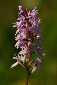 Orchidée<br> Les Lacs de Bellefontaine et des Mortes<br> Parc régional du haut Jura