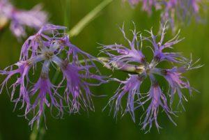 Oeillet superbe (Dianthus superbus)<br> Les Lacs de Bellefontaine et des Mortes<br> Parc régional du haut Jura