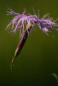 Œillet superbe (Dianthus superbus)<br> Les Lacs de Bellefontaine et des Mortes<br> Parc régional du haut Jura