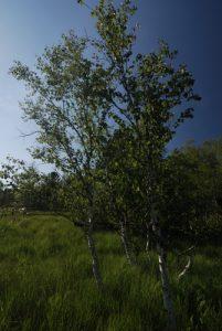 Le bouleau verruqueux (Betula pendula)<br> Tourbière du lac des Mortes<br> Parc régional du haut Jura