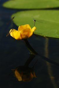 Accouplements de Pennipatte bleuâtre (Platycnemis pennipes) sur Nénuphar jaune (Nuphar lutea)<br> Lac de Bonlieu<br> Parc régional du haut Jura