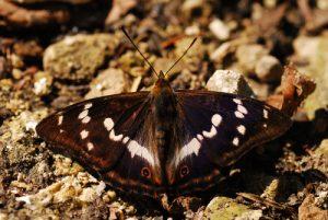 Papillon Grand Mars changeant (Apatura iris)<br> Lac de Bonlieu<br> Parc régional du haut Jura